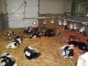 GTC 2013 noiembrie - 168 fătări pe zi, Holstein & Jersey
