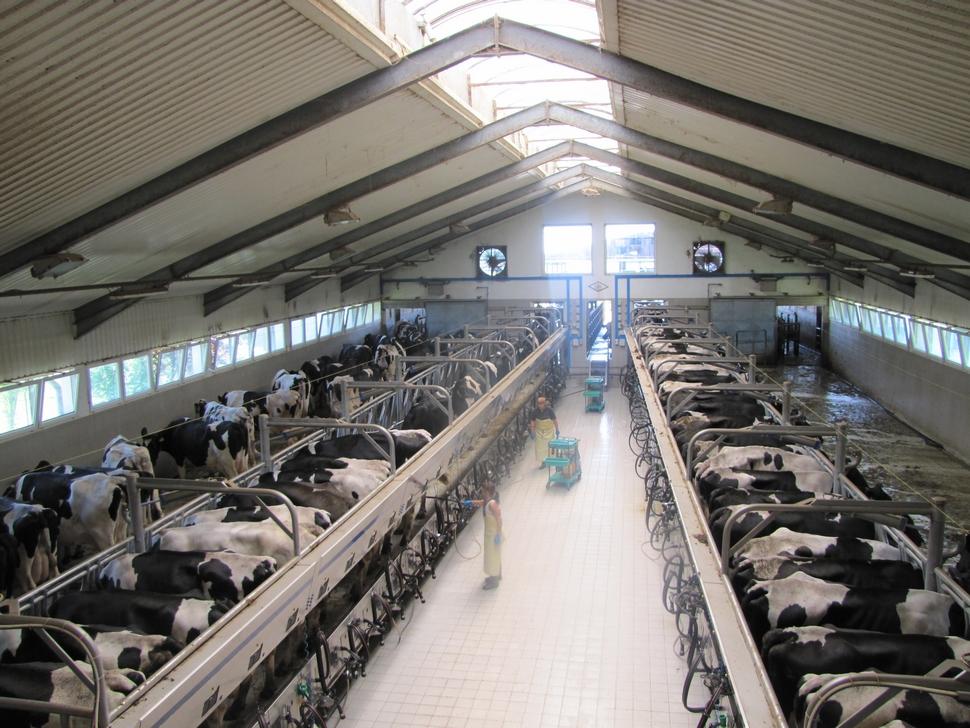 schontalschul ro - O fermă de vaci de elită